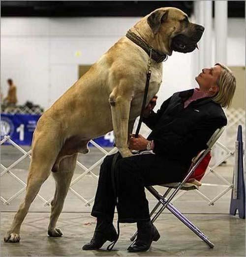 Σκύλοι που δεν συνειδητοποιούν πόσο τεράστιοι είναι (8)