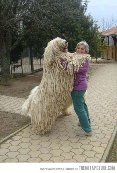 Σκύλοι που δεν συνειδητοποιούν πόσο τεράστιοι είναι (11)