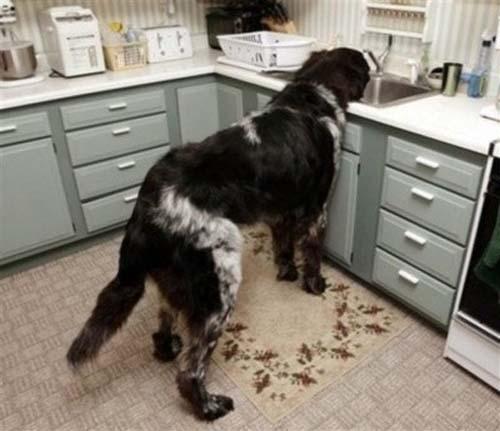 Σκύλοι που δεν συνειδητοποιούν πόσο τεράστιοι είναι (12)