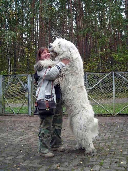 Σκύλοι που δεν συνειδητοποιούν πόσο τεράστιοι είναι (18)