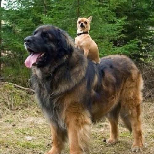 Σκύλοι που δεν συνειδητοποιούν πόσο τεράστιοι είναι (20)