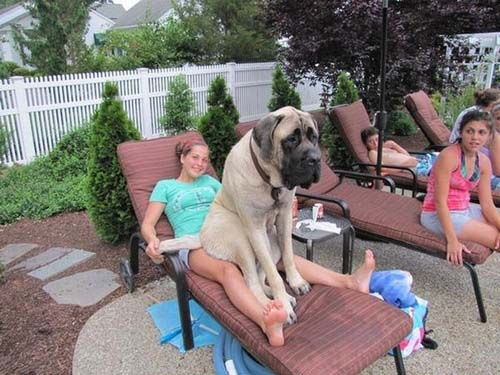 Σκύλοι που δεν συνειδητοποιούν πόσο τεράστιοι είναι (22)