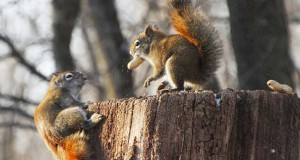 Δυο σκίουροι σε μια επική μάχη για ένα φυστίκι