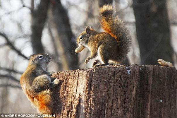 Δυο σκίουροι σε μια επική μάχη για ένα φυστίκι (1)