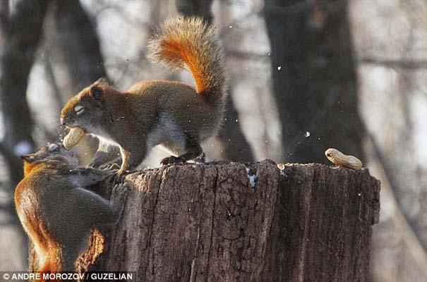 Δυο σκίουροι σε μια επική μάχη για ένα φυστίκι (2)