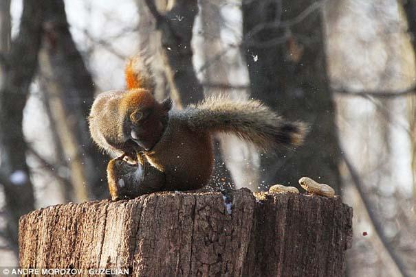 Δυο σκίουροι σε μια επική μάχη για ένα φυστίκι (3)