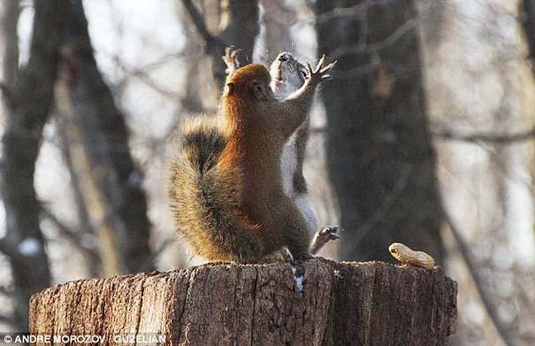 Δυο σκίουροι σε μια επική μάχη για ένα φυστίκι (4)
