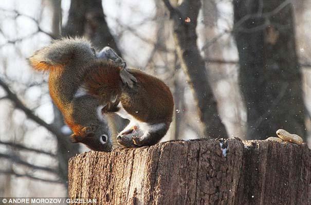 Δυο σκίουροι σε μια επική μάχη για ένα φυστίκι (5)