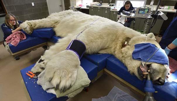 Πολική αρκούδα στον οδοντίατρο (1)