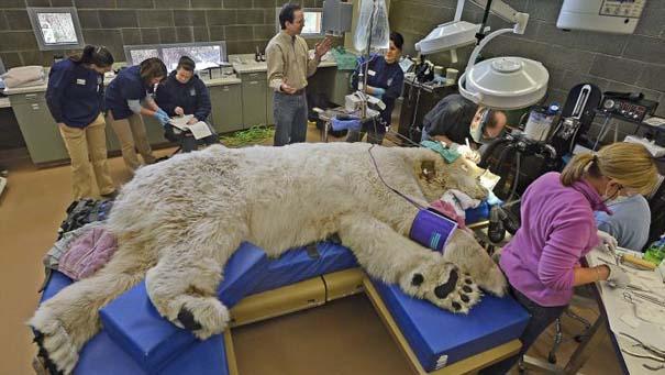 Πολική αρκούδα στον οδοντίατρο (4)