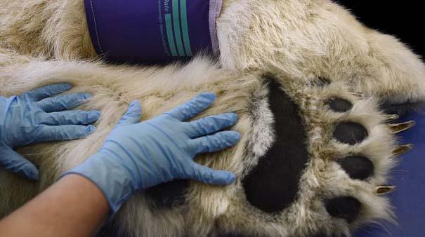 Πολική αρκούδα στον οδοντίατρο (6)