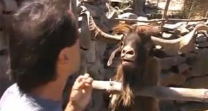 Ζώα που ουρλιάζουν σαν άνθρωποι (Video)