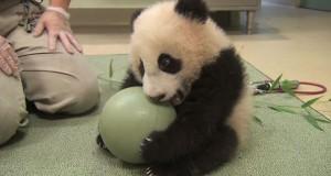 Ακαταμάχητο μωρό Πάντα παίζει με μπάλα (Video)