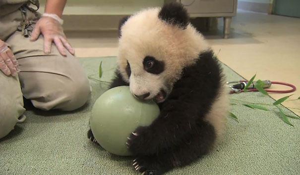 Ακαταμάχητο μωρό Πάντα παίζει με μπάλα