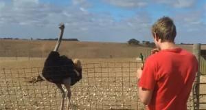 Πως να δαμάσετε μια στρουθοκάμηλο (Video)