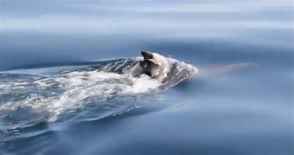 Δελφίνι κουβαλάει το νεκρό μωρό του!