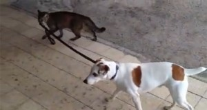 Γάτα βγάζει τον σκύλο βόλτα (Video)