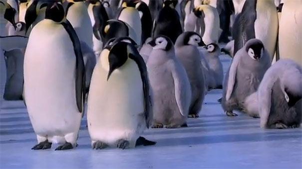 Γκαφατζήδες πιγκουίνοι χαρίζουν άφθονο γέλιο