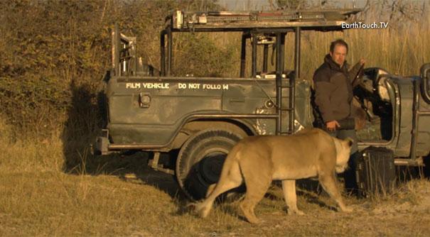 Λιοντάρι στη φύση έρχεται σε απόσταση αναπνοής από κάμεραμαν