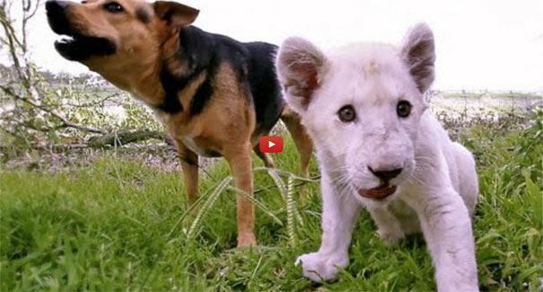Σκύλος και λευκό λιονταράκι έγιναν κολλητοί φίλοι