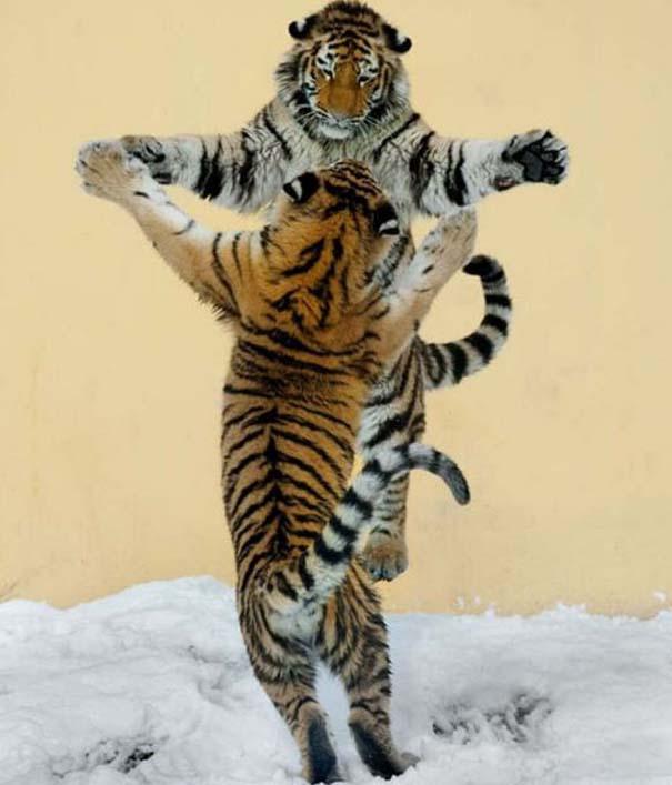 Ζώα που το έριξαν στον χορό (11)