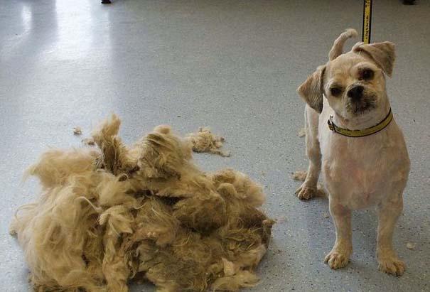 Εγκαταλελειμμένος σκύλος πριν και μετά το κούρεμα (3)
