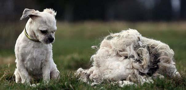Εγκαταλελειμμένος σκύλος πριν και μετά το κούρεμα (4)