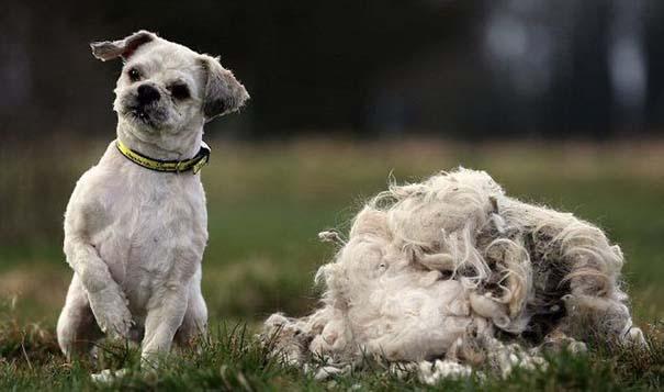 Εγκαταλελειμμένος σκύλος πριν και μετά το κούρεμα (5)