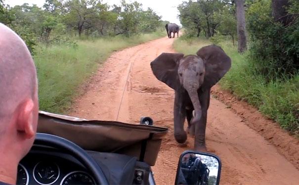 Ελεφαντάκι προσπαθεί να τρομάξει τουρίστες