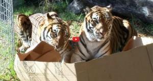 Και οι… μεγάλες γάτες λατρεύουν τα κουτιά (Video)