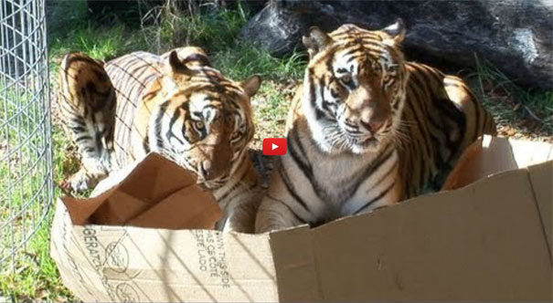Και οι... μεγάλες γάτες λατρεύουν τα κουτιά