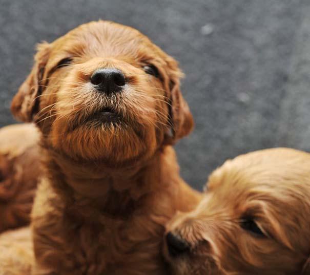 Κουτάβια από διάφορες ράτσες σκύλων (7)