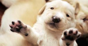 Πως είναι τα κουτάβια από διάφορες ράτσες σκύλων