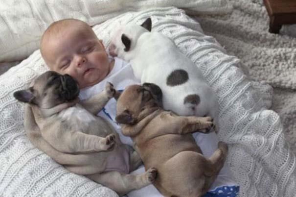 Μωρό & κουτάβια bulldog (4)