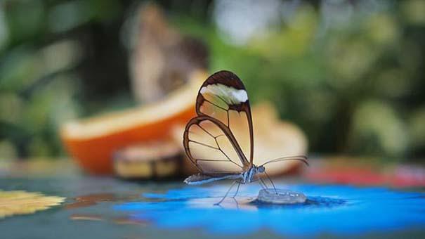 Η πεταλούδα με τα διάφανα φτερά (2)