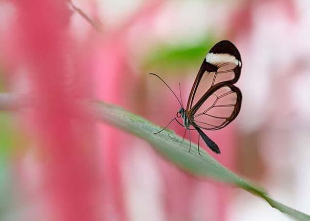 Η πεταλούδα με τα διάφανα φτερά (4)