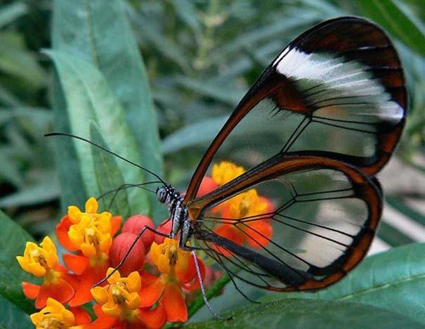 Η πεταλούδα με τα διάφανα φτερά (5)