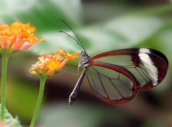 Η πεταλούδα με τα διάφανα φτερά (6)