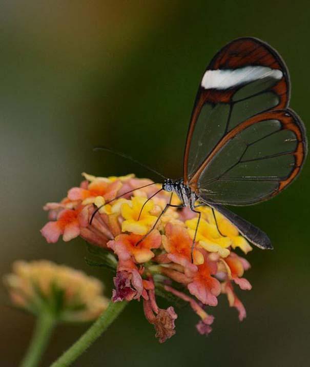 Η πεταλούδα με τα διάφανα φτερά (7)