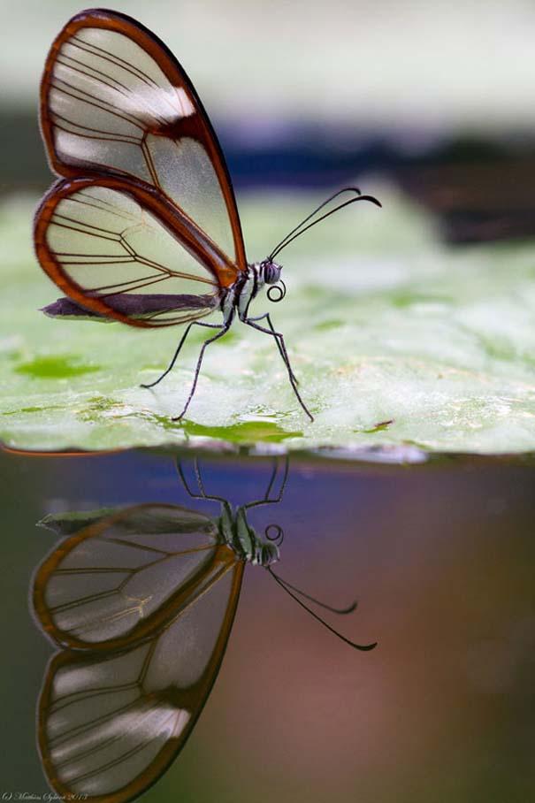 Η πεταλούδα με τα διάφανα φτερά (8)