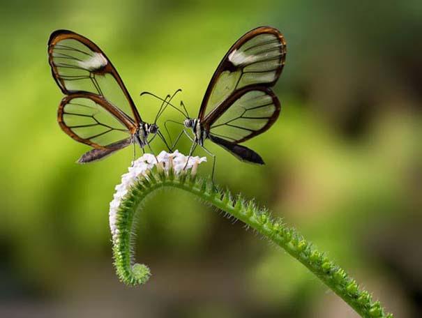 Η πεταλούδα με τα διάφανα φτερά (10)