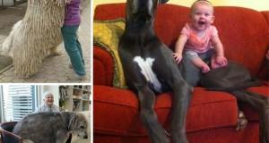 21 σκύλοι που δεν συνειδητοποιούν πόσο τεράστιοι είναι
