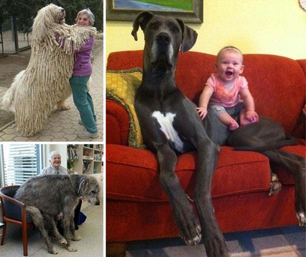 Σκύλοι που δεν συνειδητοποιούν πόσο τεράστιοι είναι