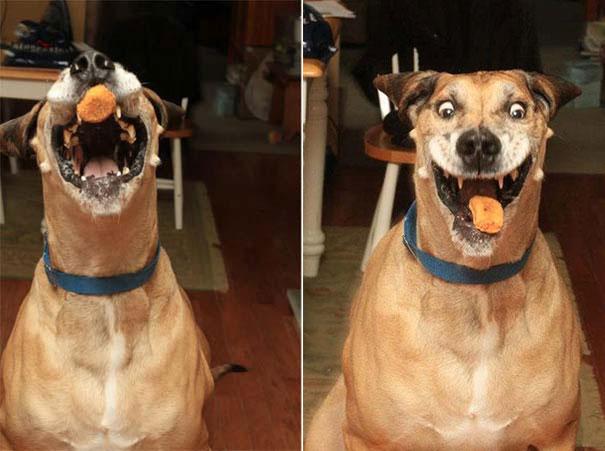 Σκύλος τρώει κοτομπουκιές (1)