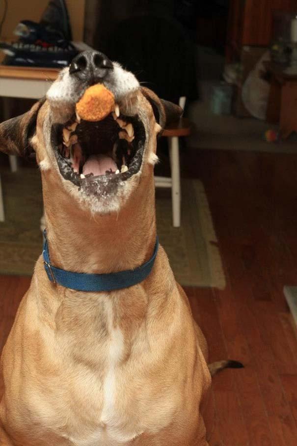 Σκύλος τρώει κοτομπουκιές (2)