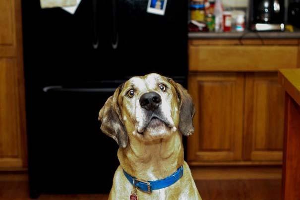 Σκύλος τρώει κοτομπουκιές (7)