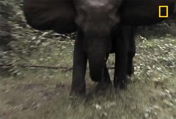 Τι να κάνετε αν σας ορμήσει ένας ελέφαντας
