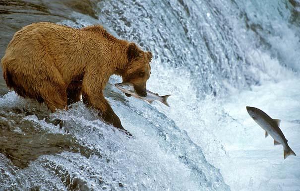 Ζώα που ετοιμάζονται να γίνουν... γεύμα (2)