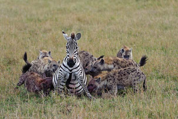 Ζώα που ετοιμάζονται να γίνουν... γεύμα (15)