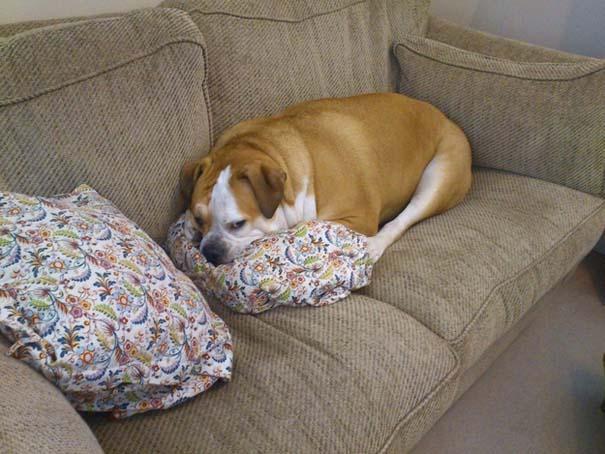 Σκύλοι που νικήθηκαν από την τεμπελιά (2)